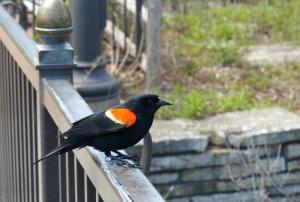 redwingbird