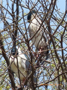 Black-crowned Night Herons from part of a Colony in Lincoln Park.